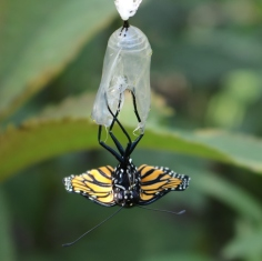 Monarch hanging upside-down out of its chrysalis, tiny wings lying flat.