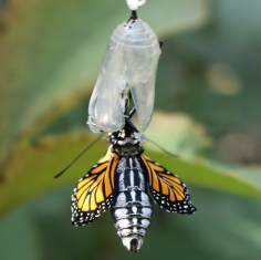 Monarch butterfly turned around so its fat abdomen is showing, small wings at the sides.