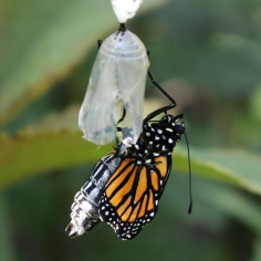Side view of a monarch getting into position to hang from its chrysalis to dry, abdomen still fat and wings still small.