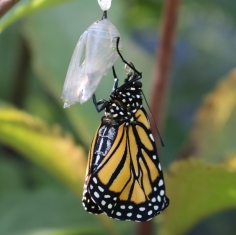 Monarch hanging from its chrysalis, wings perhaps full-sized but still wrinkled.