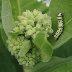 Monarch caterpillar crawling up a common milkweed leaf.