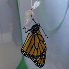 Monarch butterfly hanging from its chrysalis.