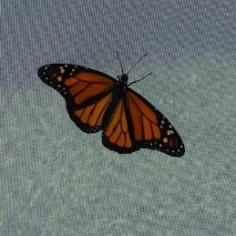 Monarch butterfly climbing up the side of a white mesh cage, wings open.