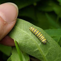 A hand turning over a milkweed leaf to show a medium-sized monarch caterpillar.