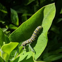 Large caterpillar on a milkweed leaf, eating another leaf.