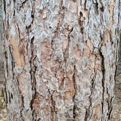 Closeup of white pine bark.