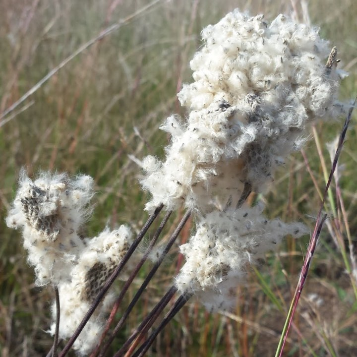 A cluster of skinny stems with cotton-like seeds.