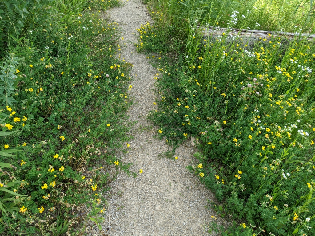 A gravel path narrowed by green plants with small yellow flowers.