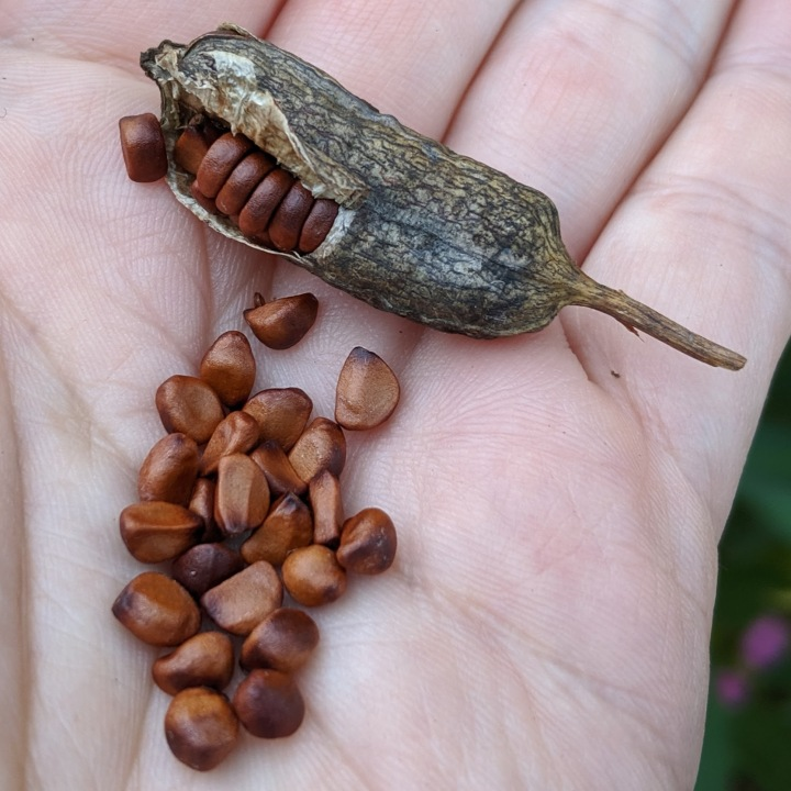 A hand holding a large seedpod and a pile of brown seeds.
