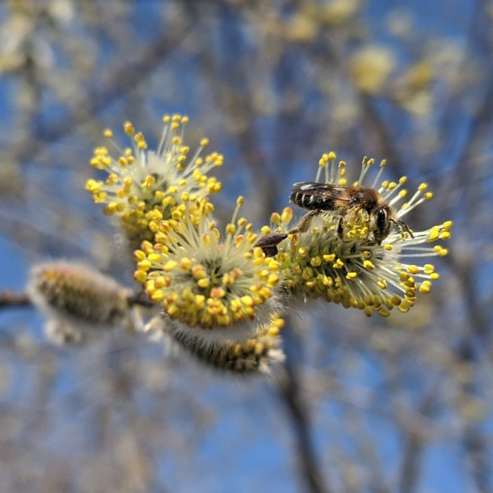 Three blooming pussy willow buds, with a bee nectaring on the right bud.