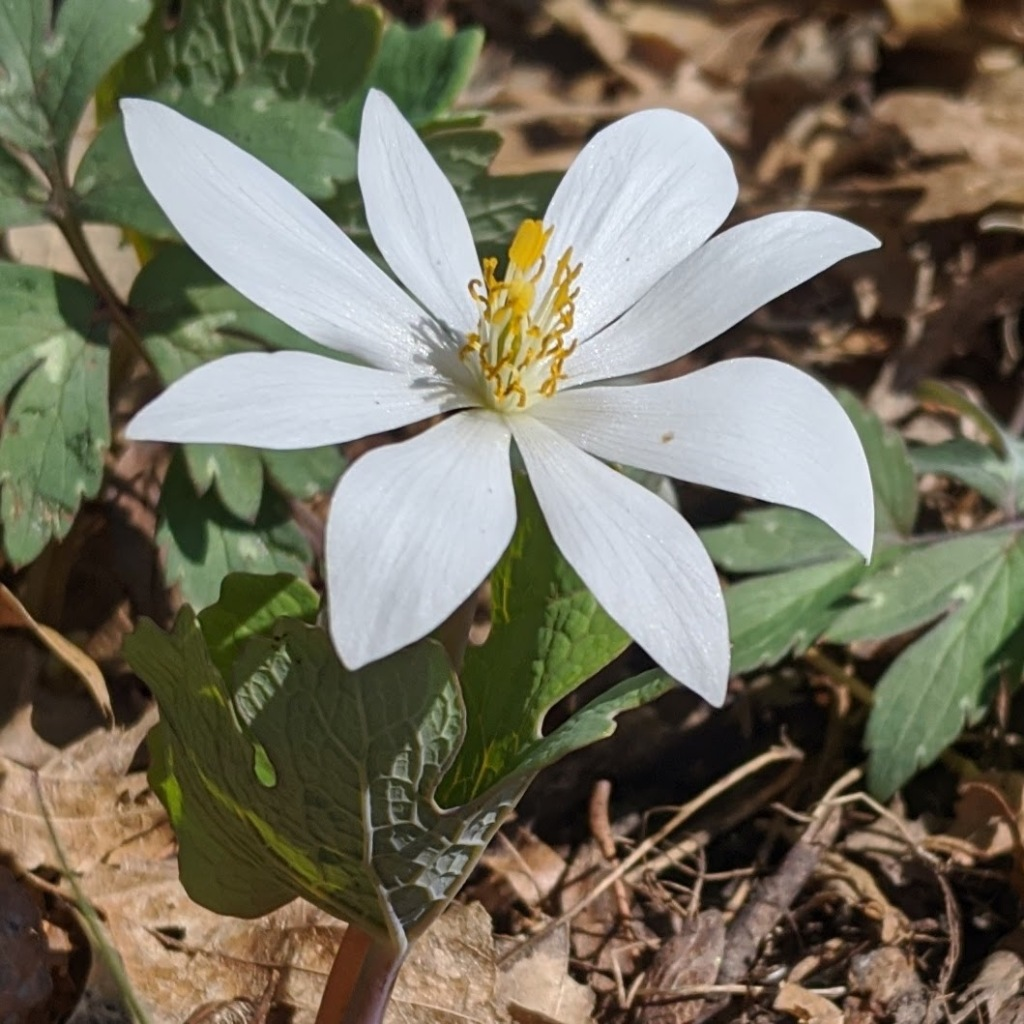 Closeup of a flower with 8 white petals open flat.