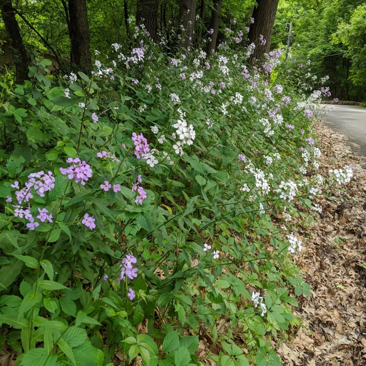 A colony of pink and white flowers blooming next to a road.