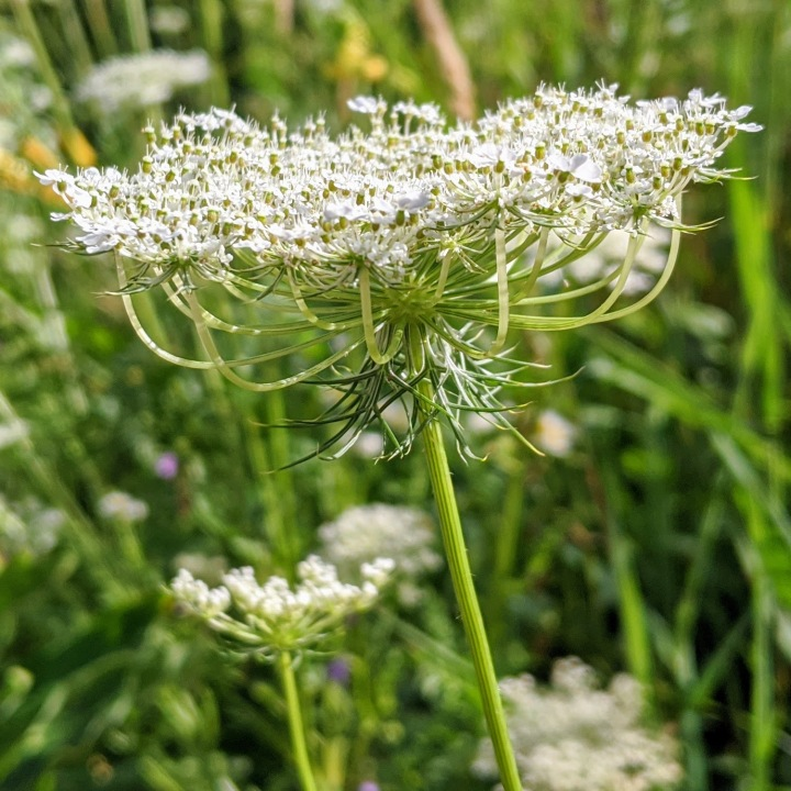 Side view showing curved stems that make up an umbel of tiny white flowers.
