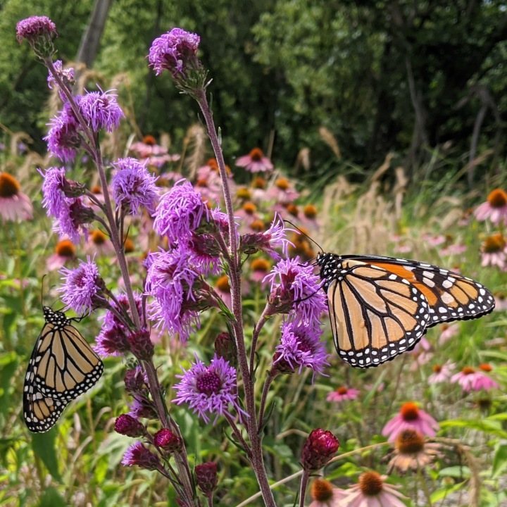 Two purple flower spikes, each with an orange butterfly.
