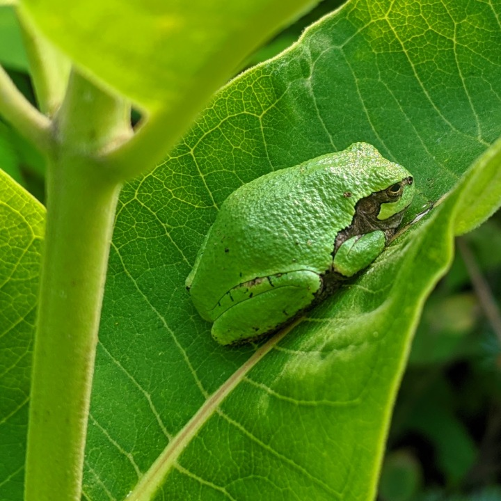 Small green frog on a large green common milkweed leaf.