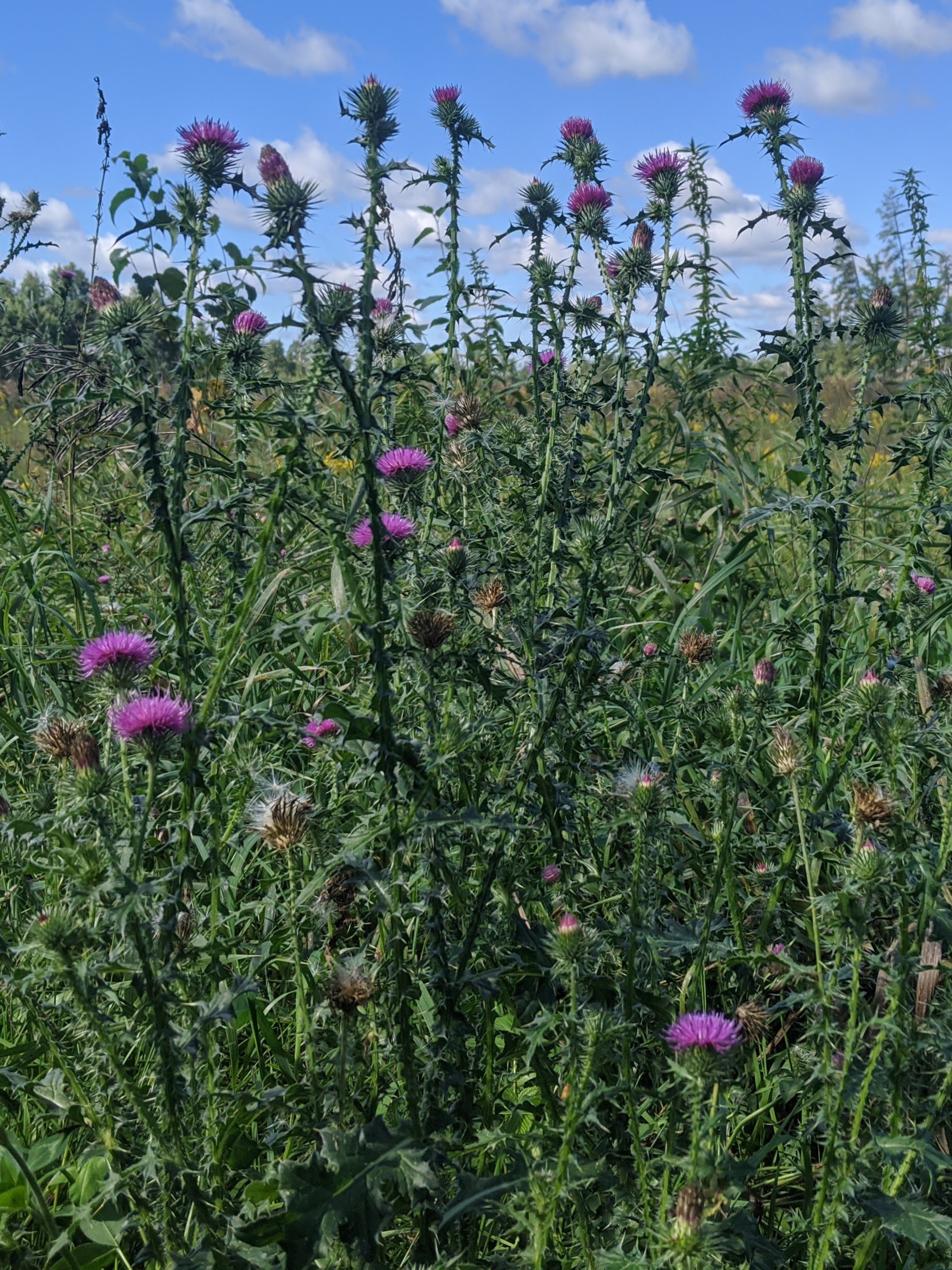 Tall thistles with purple tops.