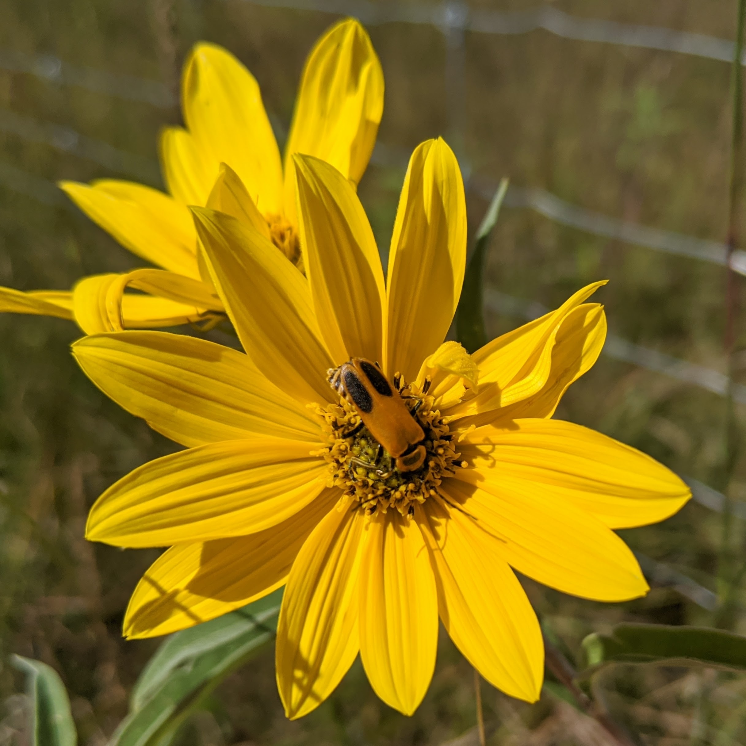A soldier beetle on the center of a yellow daisy-like flower.