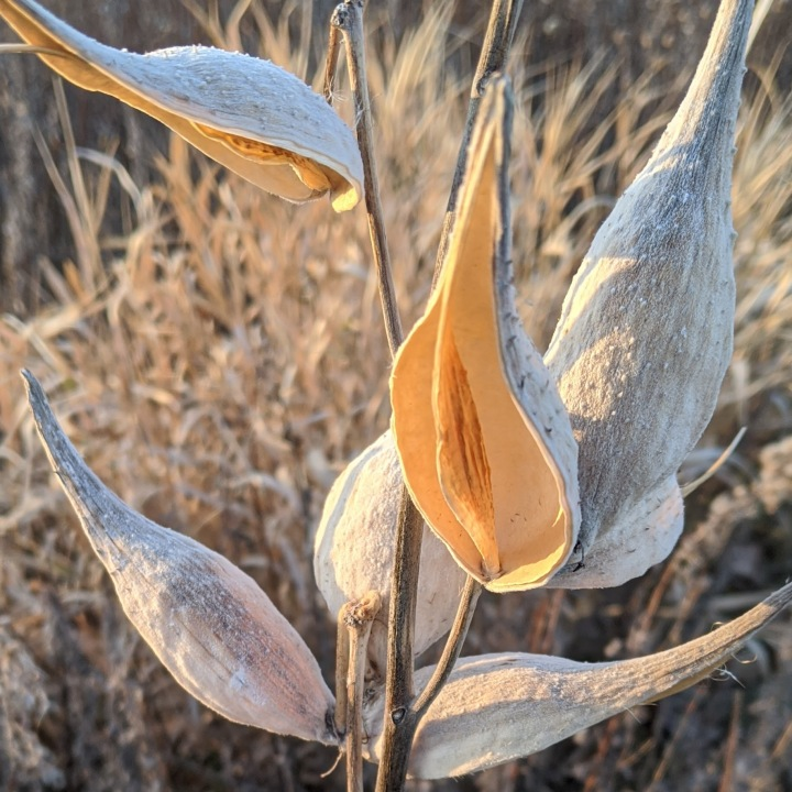 Focus on one seedpod that's glowing in sunlight. Another one above is also illuminated but only partially visible, while 5 gray pods are facing other directions.