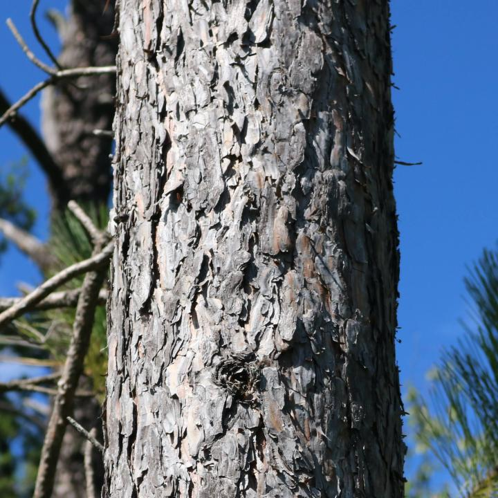 Closeup of the bark of a white pine tree.